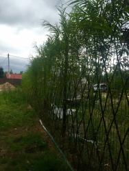 растения живая изгородь на даче