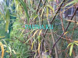 Живой прут ивы