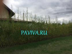 долговечная зелёная изгородь