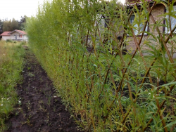 зеленый забор живая изгородь