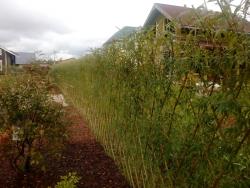 живой забор из кустарника