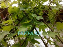 Плотная изгородь из хмеля