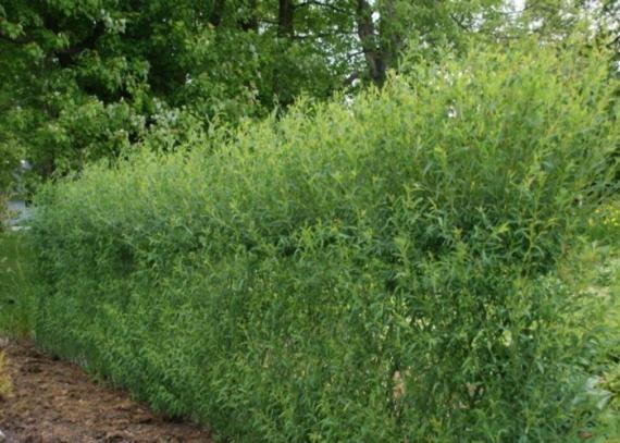 Живые изгороди быстрорастущие,посадка живая изгородь,живая изгородь купить