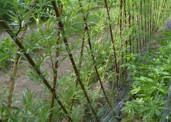 Живая изгородь растение,забор