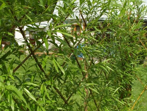 Вечнозелёная быстрорастущая