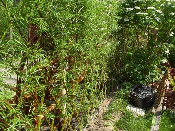 Живая изгородь зимостойкая и быстрорастущая.
