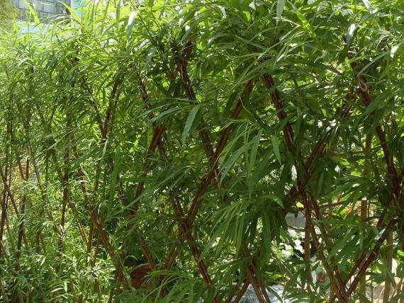 Живая изгородь вечнозелёная