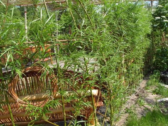 Многолетняя живая изгородь