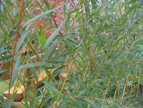 Жёлтая живая ихгородь