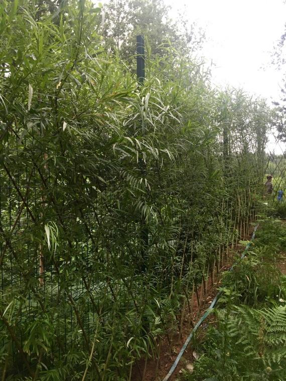 Практичная живая изгородь