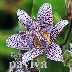 цветы с пурпурными пятнами