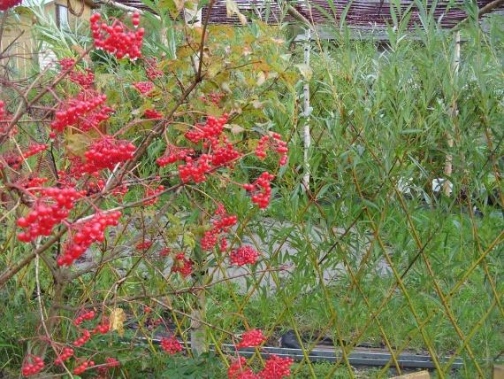 Купить растения с красными плодами