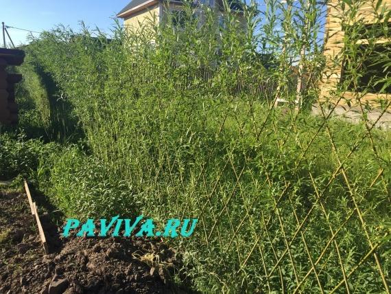 Растения на даче изгородь
