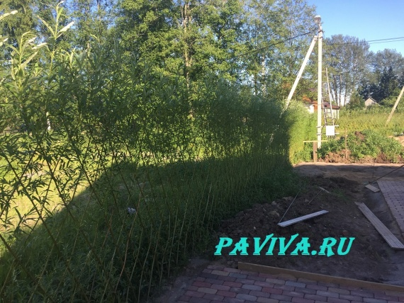 растения живая изгородь быстрорастущая