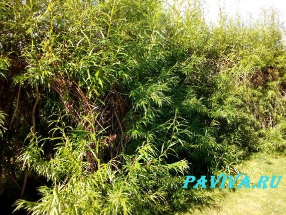 Луковое удобрение для сада