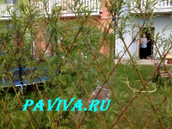 русская ива в заборе