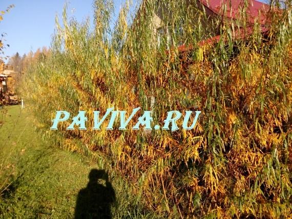 Живая плетёная изгородь из ивы