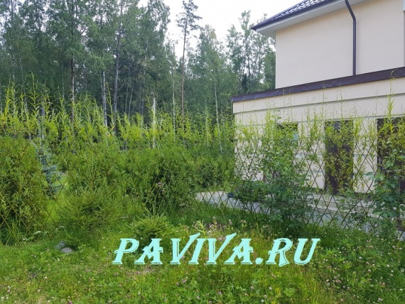 Купить живую изгородь из ивы в спб