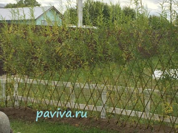 растения для изгороди на дачном участке