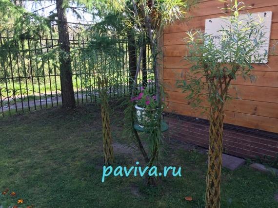 декоративная ива для сада