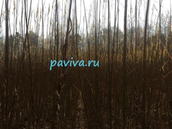 Древовидный сорт ивы для живой изгороди