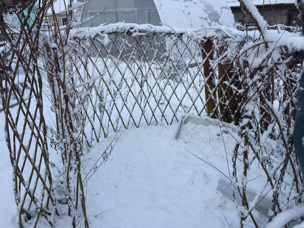 Живая изгородь из ивы зимой